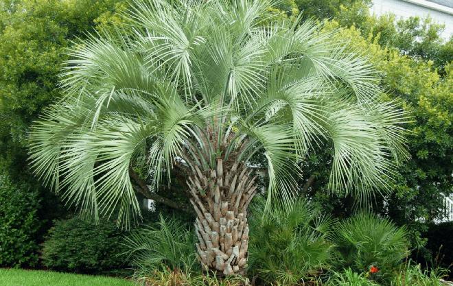 Небольшая пальма бутия