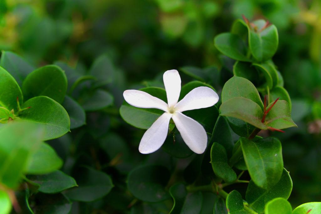 Цветок кариссы