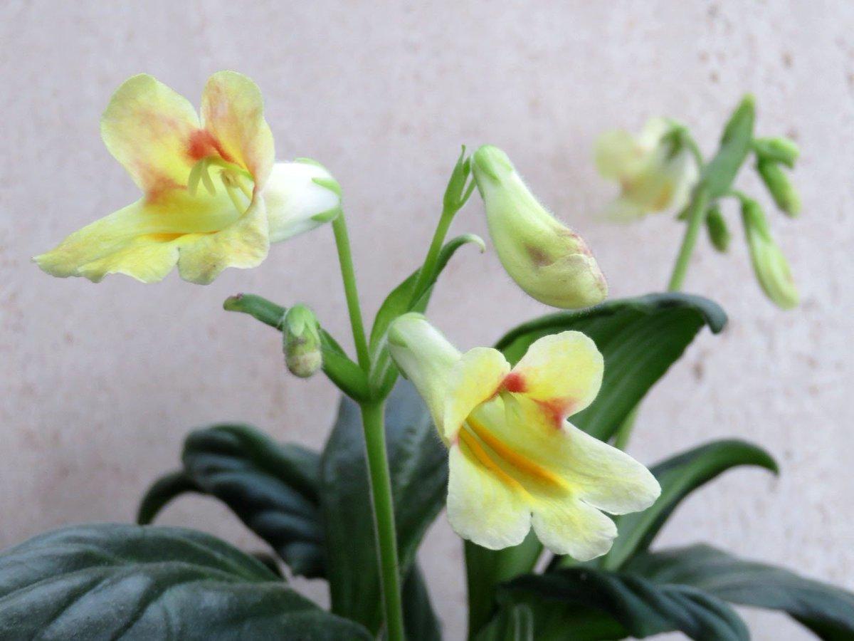 хирита цветок