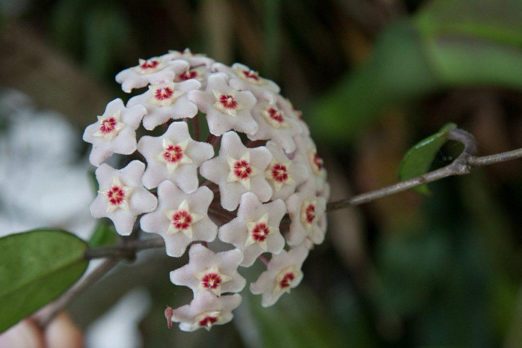 Цветок воскового плюща
