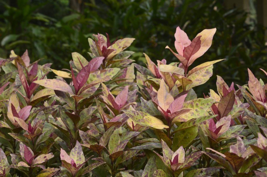 Растение псевдоэрантемум: уход в домашних условиях