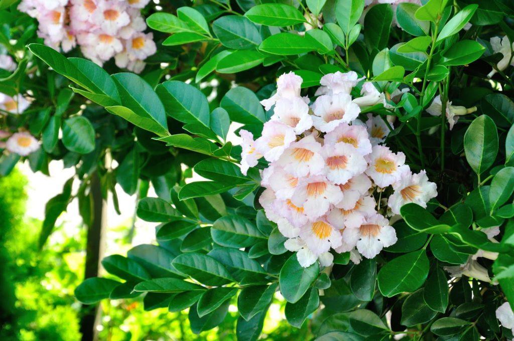 Растение радермахера обычная