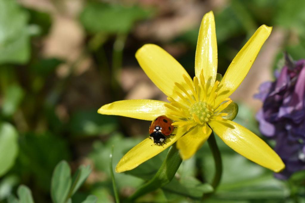 Цветок чистяка