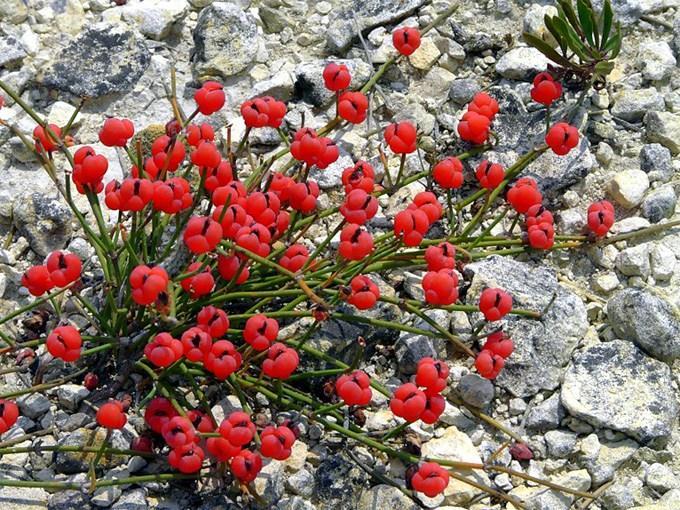 Растение эфедра: полезные свойства и противопоказания