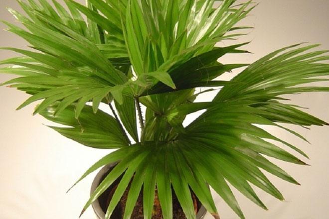 Пальма гиофорба