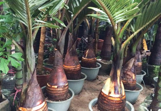 Пальмы в горшках