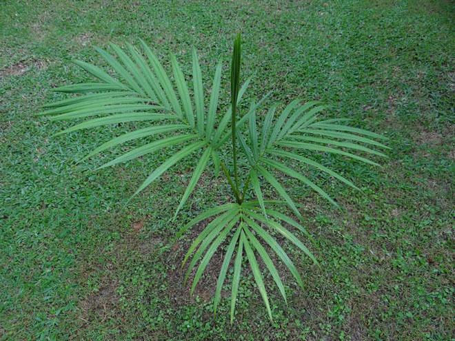 Маленькая пальма