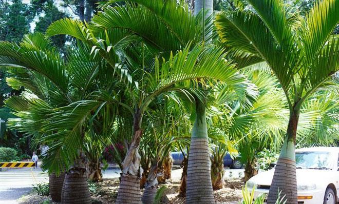 Несколько пальм