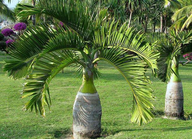 Две бутылочные пальмы