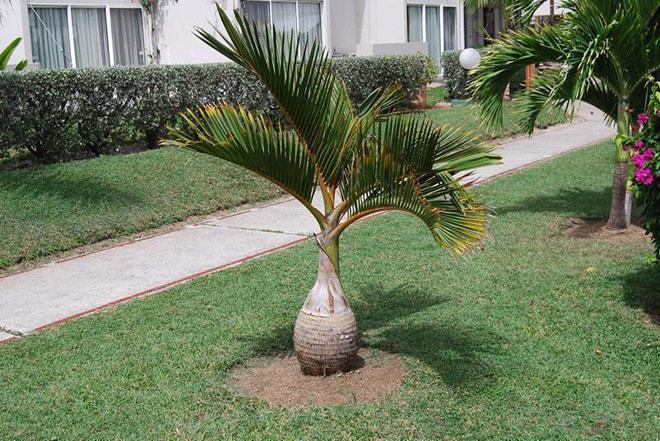 Пальма во дворе