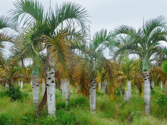 Много пальм