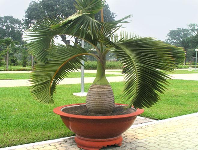 Пальма растет в горшке