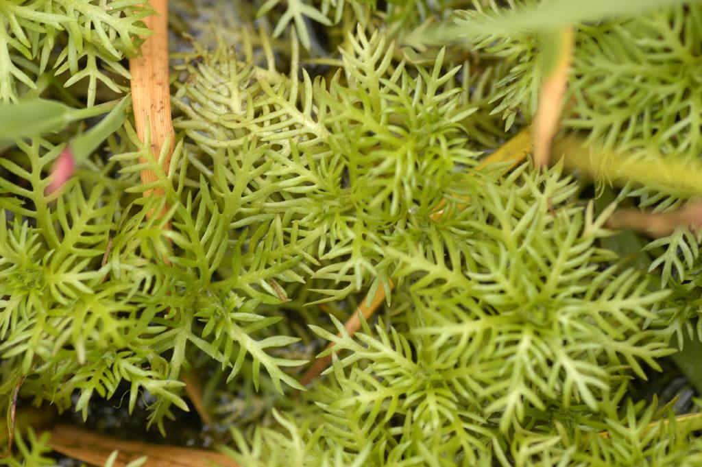 Хоттония: описание и выращивание