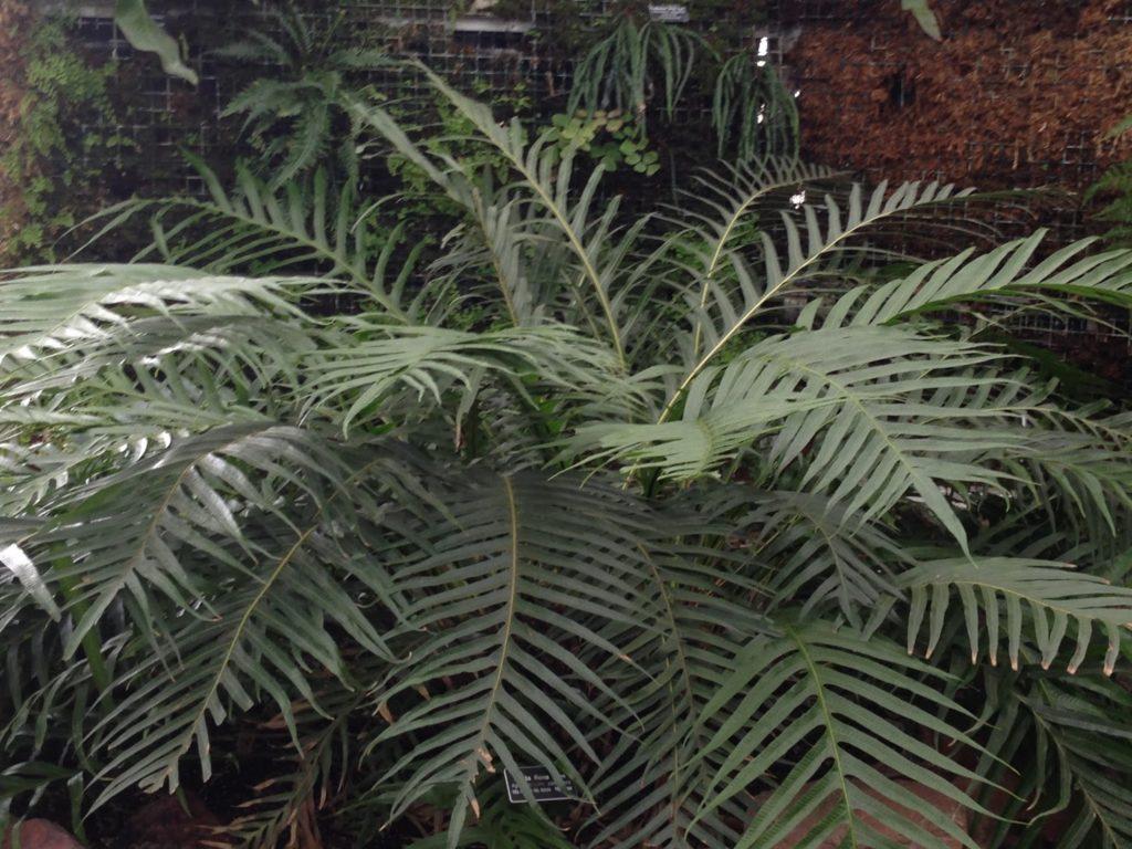 Листья аглаоморфы