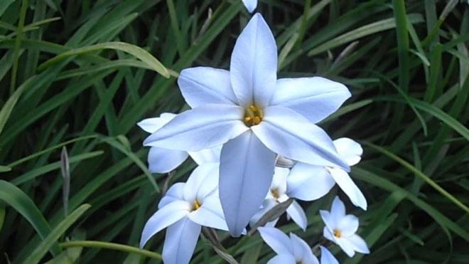 Цветы инфейона голубые
