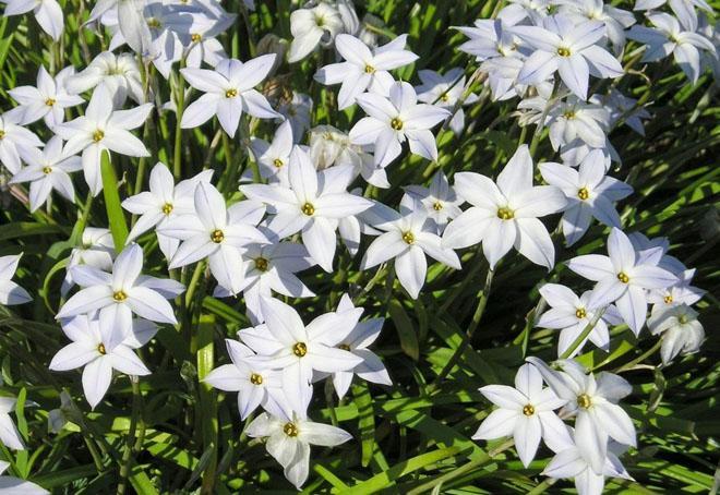 Цветы инфейона белые