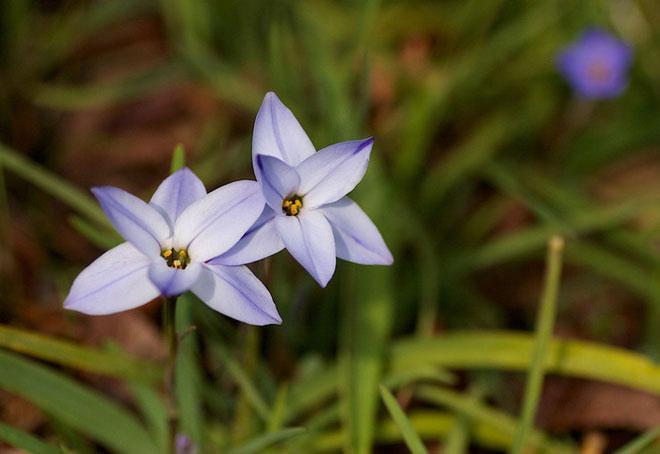 Цветы инфейона