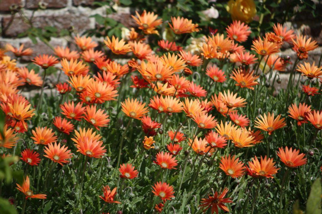Растение арктотис - описание, выращивание и уход