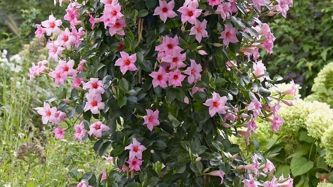 Розовая мандевилла