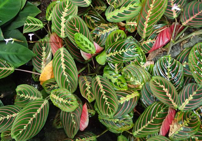 Листья маранты