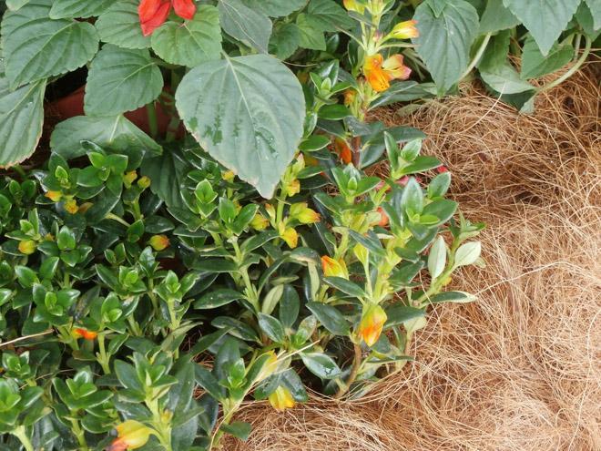 Нематантус растение