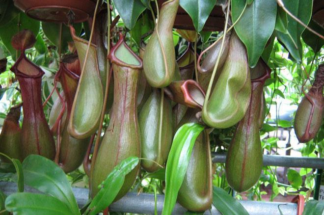 Зеленые кувшинки непентеса