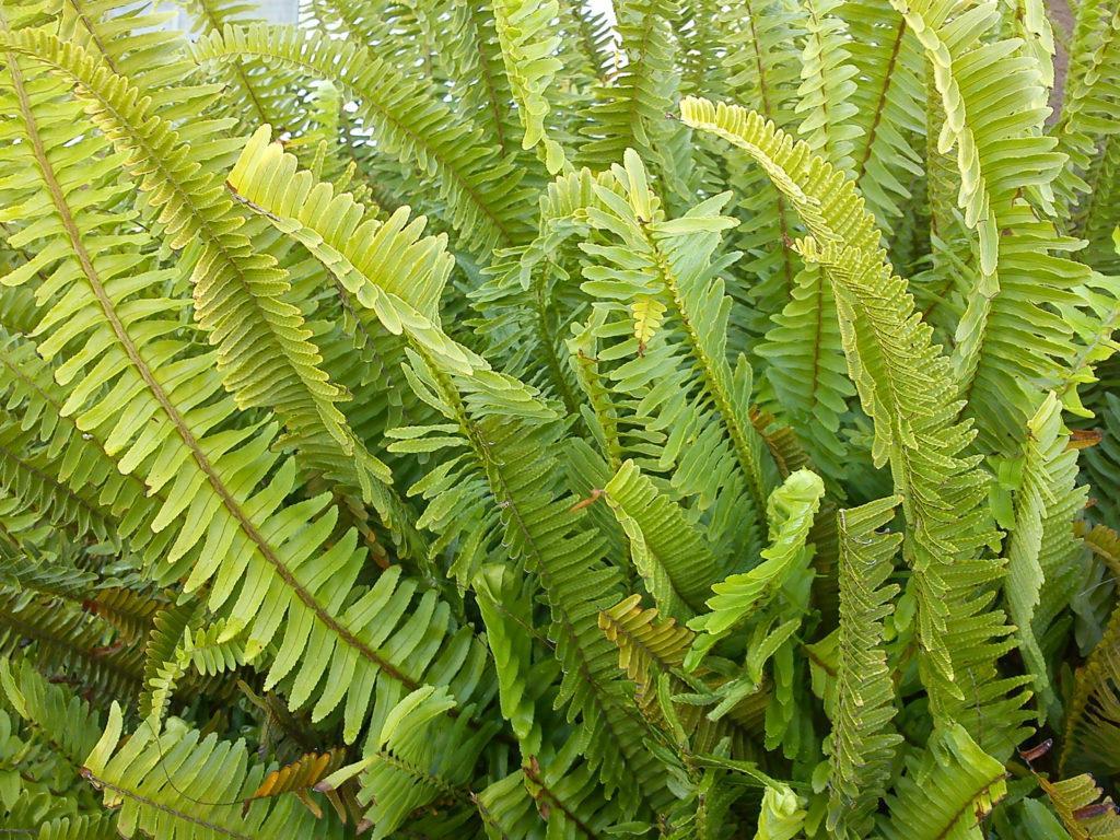 Листья нефролеписа
