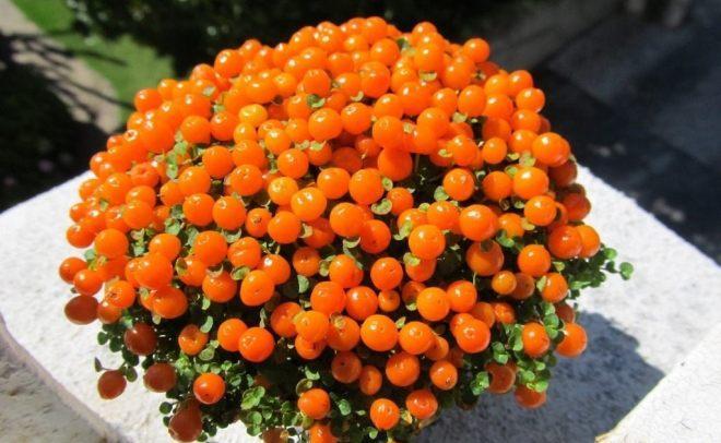 Нертера (коралловый мох)
