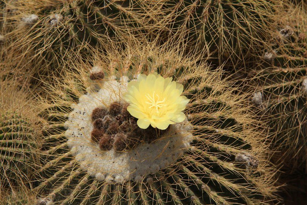 Декоративный кактус Пародия: уход в домашних условиях