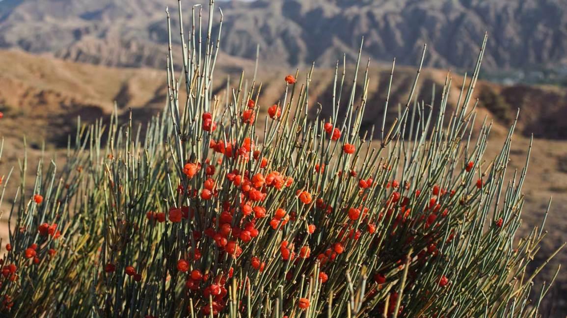 Промежуточная (пустынная) эфедра