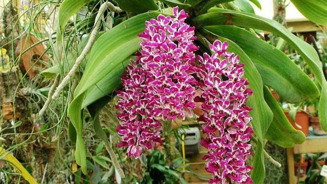 Розовые цветы орхидеи