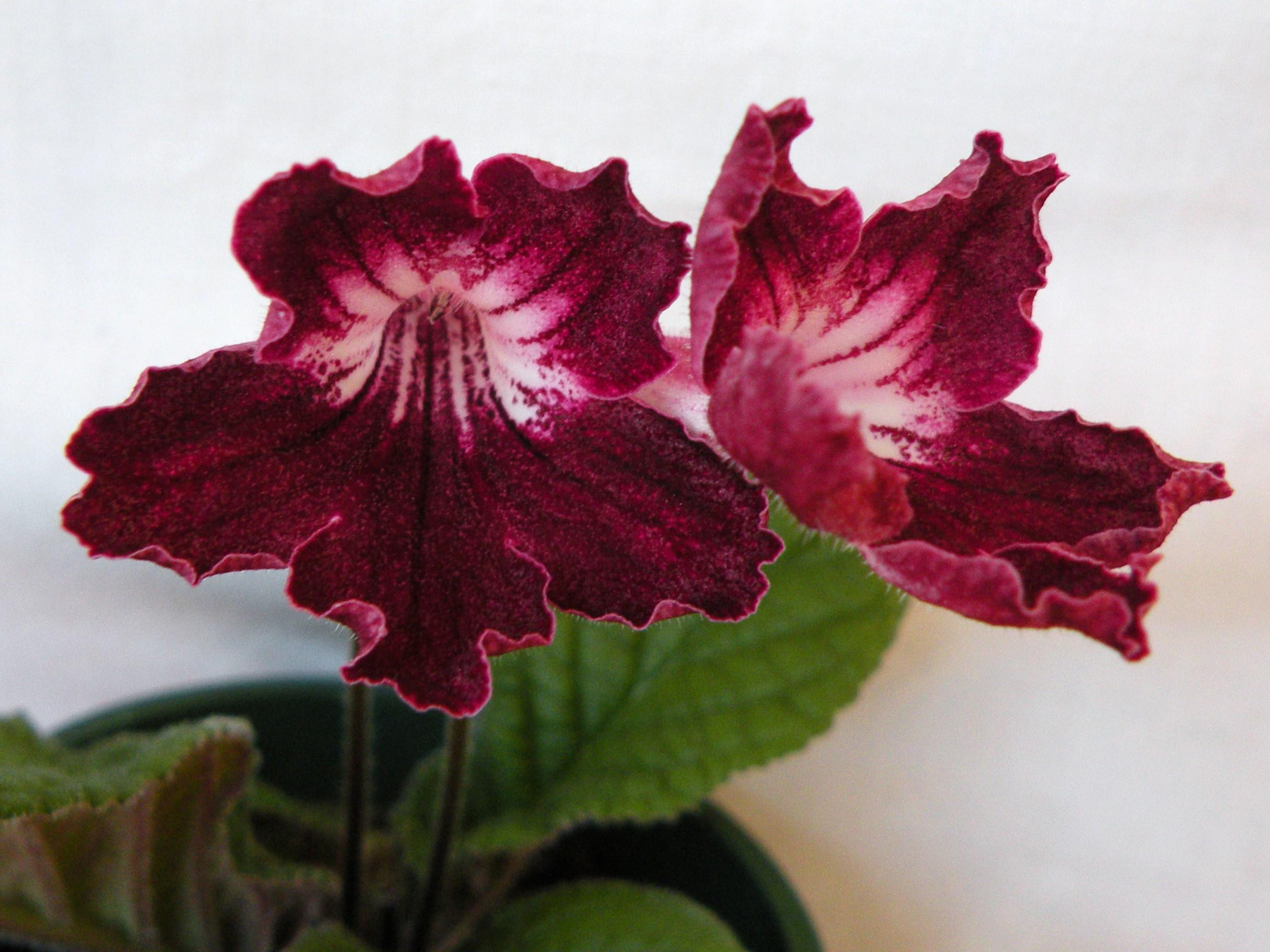 цветок стрептокарпус