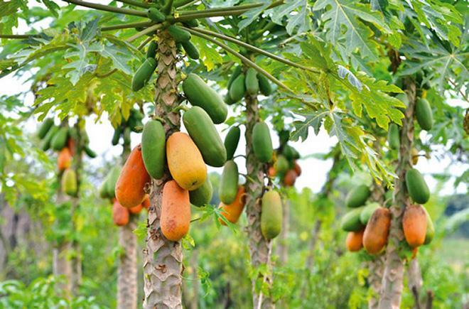 дерево папайи с плодами