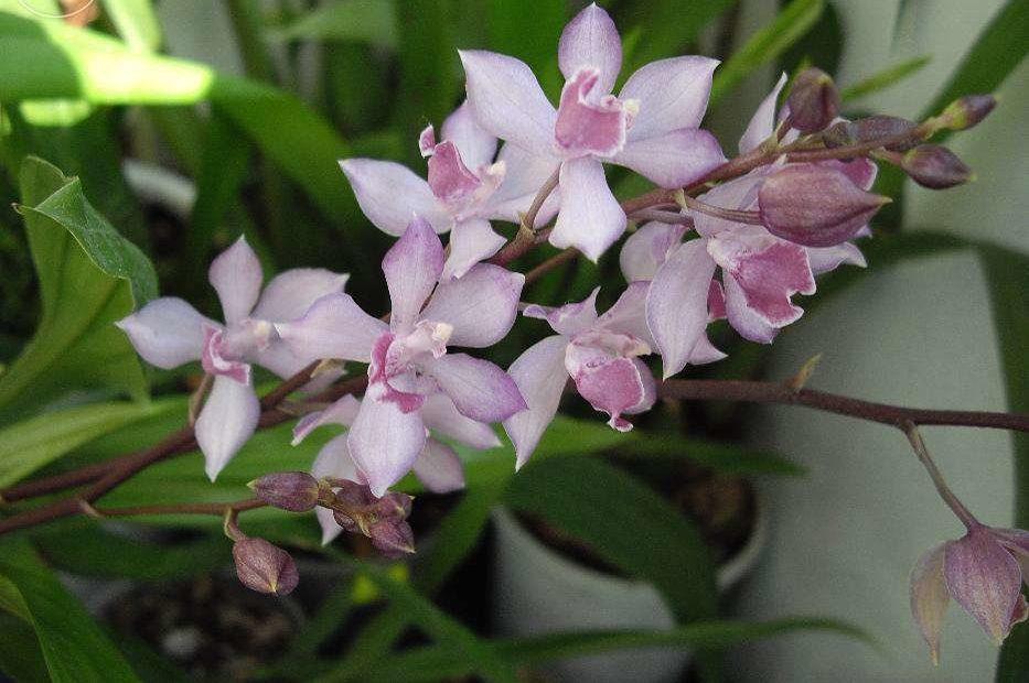 Орхидея Аганизия