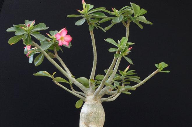 Ствол, ветки и цветок адениум