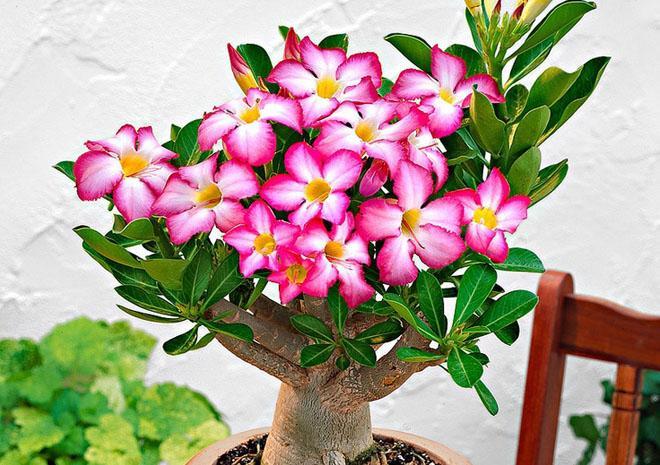 Цветок адениум в горшке