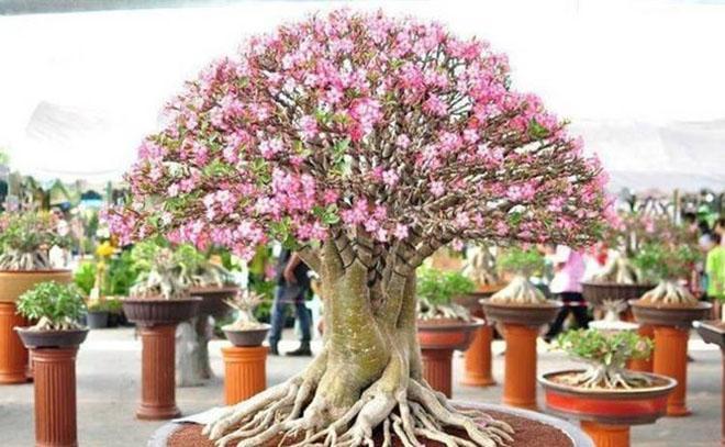 Большой цветущий адениум