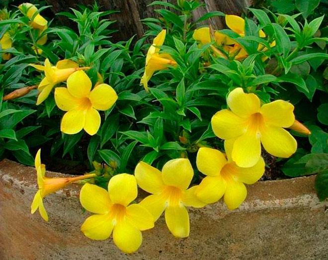 Желтые цветы алламанды