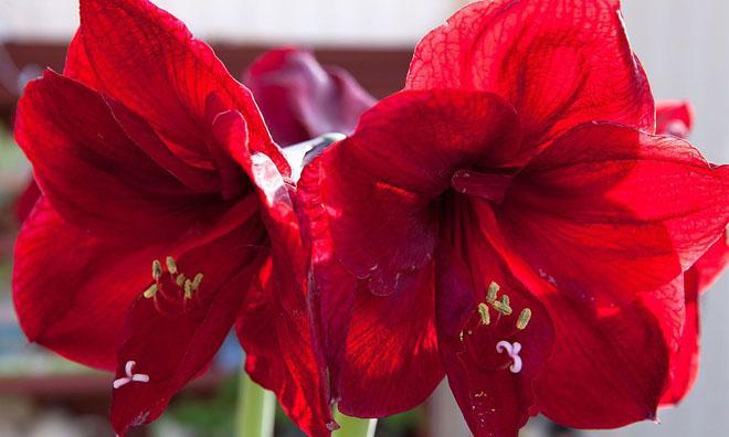 Два красных цветка