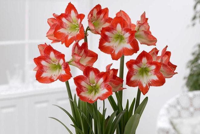 Красные цветы амариллиса