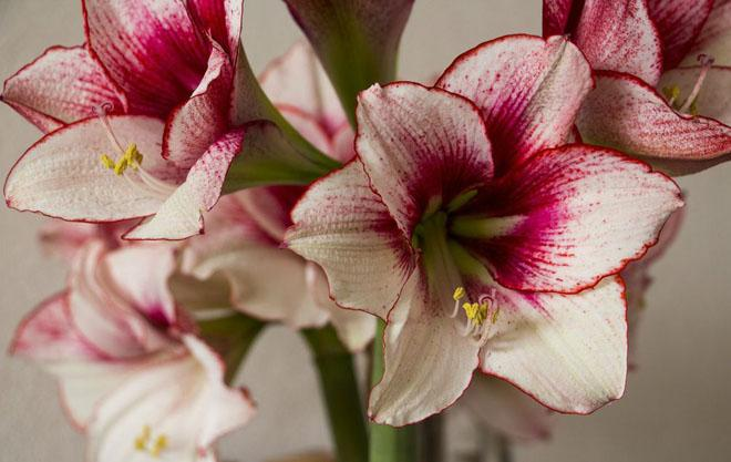 Цветы амариллиса