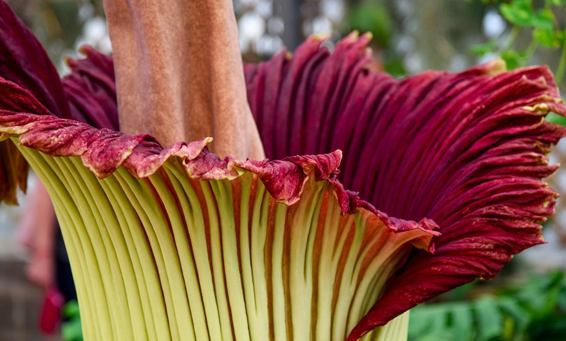 аморфофаллус цветение