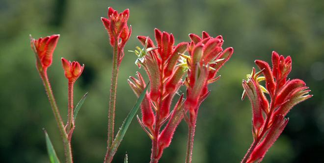Цветы анигозантоса
