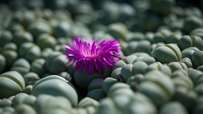 Цветок аргиродермы