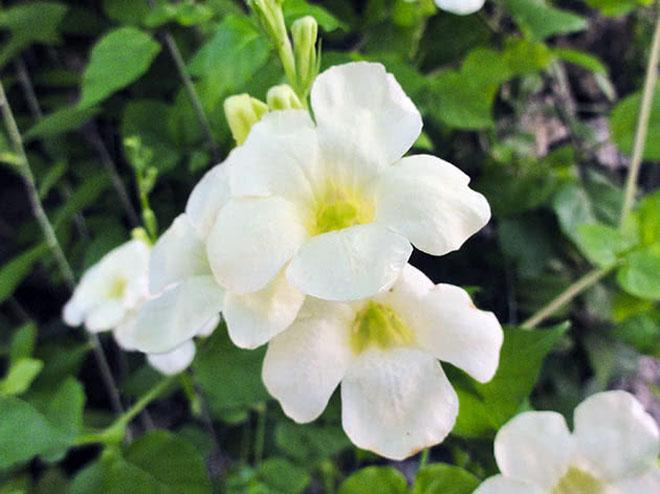 Белые цветы азистазии