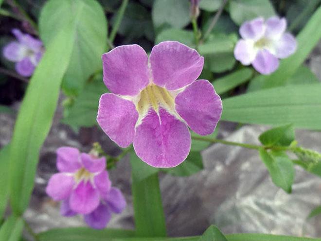 Цветы азистазии
