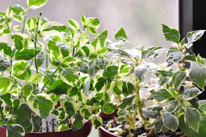 Листья азистазии