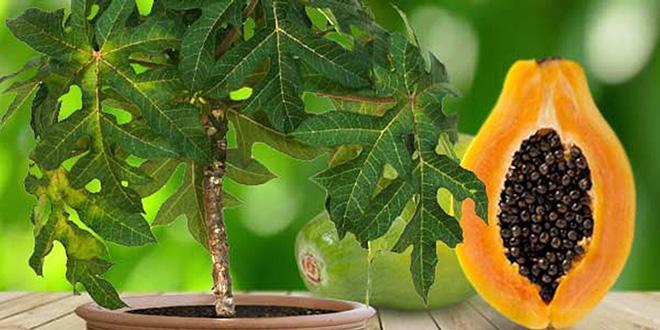 дерево папайи и разрезанный плод