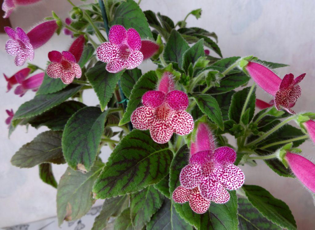 Многолетний цветок колерия