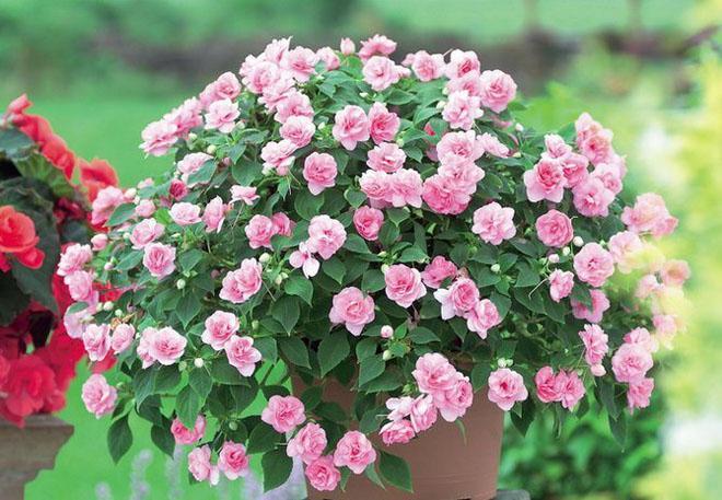 Куст розового бальзамина